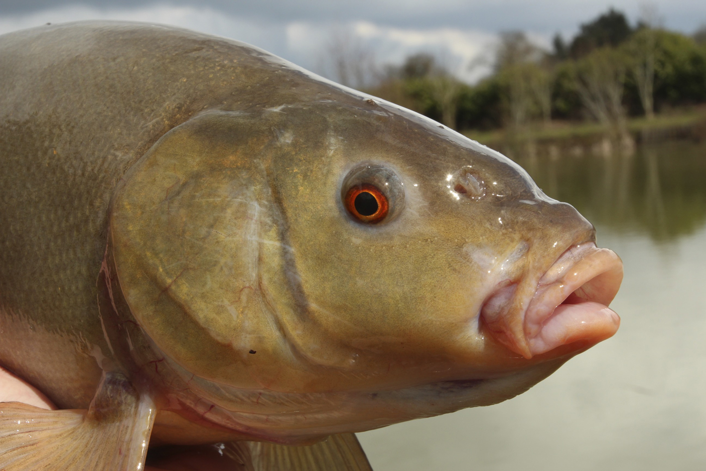 Tench The next visit. tench head